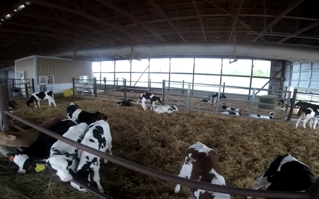 70 Years of Happy Cows and Healthy Dairy from Calder Farm
